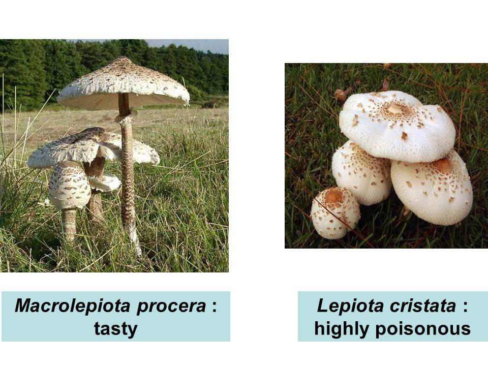 Macrolepiota procera : tasty Lepiota cristata : highly poisonous
