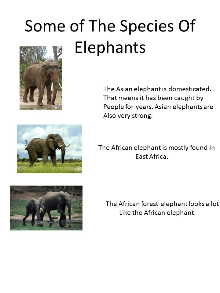 Some of The Species Of Elephants The Asian elephant is domesticated.