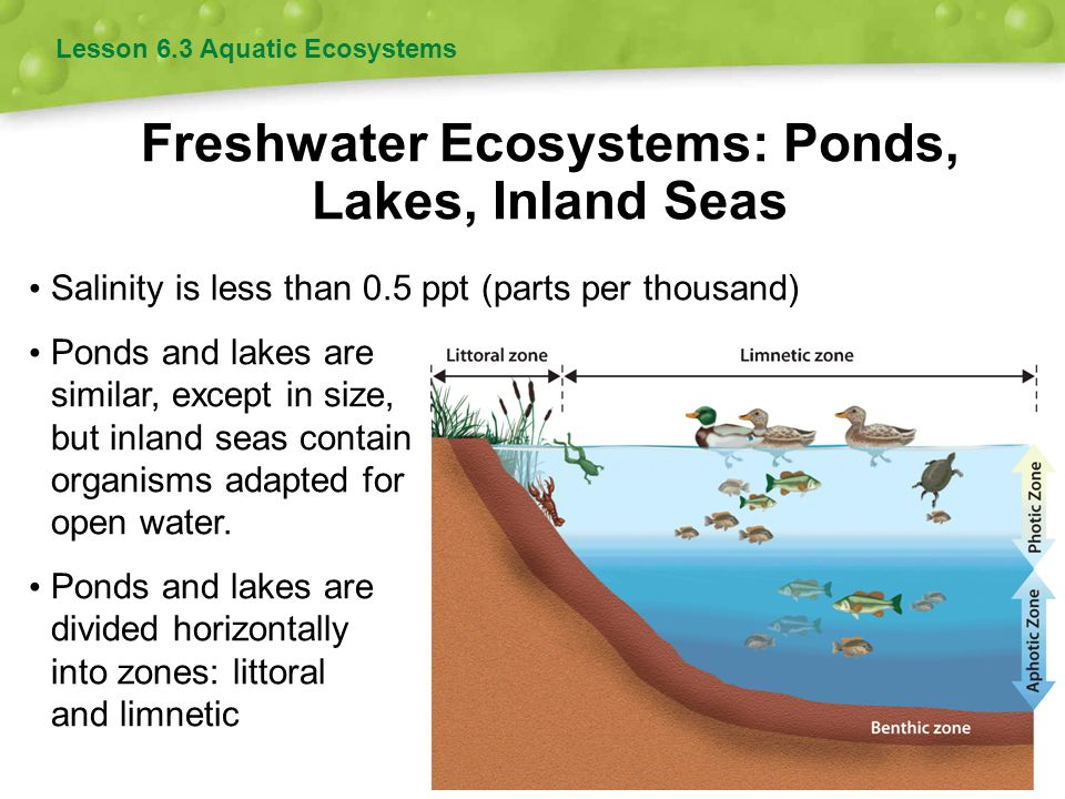 Freshwater Ecosystems: Wetlands Lesson 6.3 Aquatic Ecosystems Areas of land flooded with water at least part of the year Include freshwater marshes, swamps, bogs, and fens Wetlands prevent flooding, recharge aquifers, filter pollutants, and provide habitats.