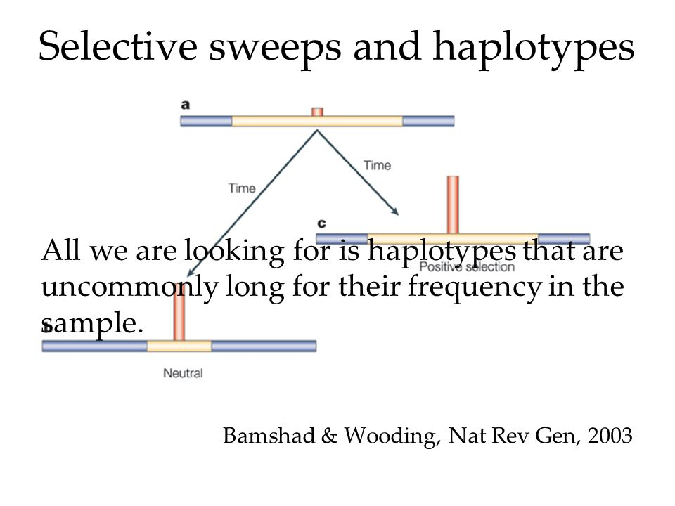 Selective sweeps and haplotypes Bamshad & Wooding, Nat Rev Gen, 2003 All we are looking for is haplotypes that are uncommonly long for their frequency