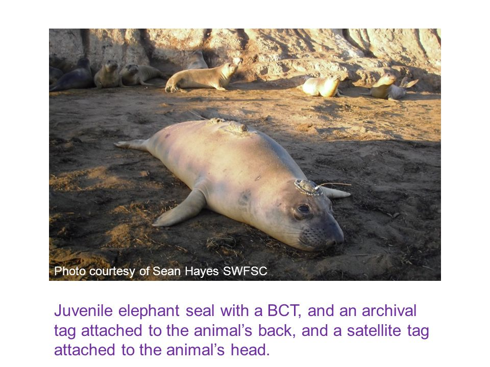 Juvenile elephant seal with a BCT, and an archival tag attached to the animal's back, and a satellite tag attached to the animal's head. Photo courtes