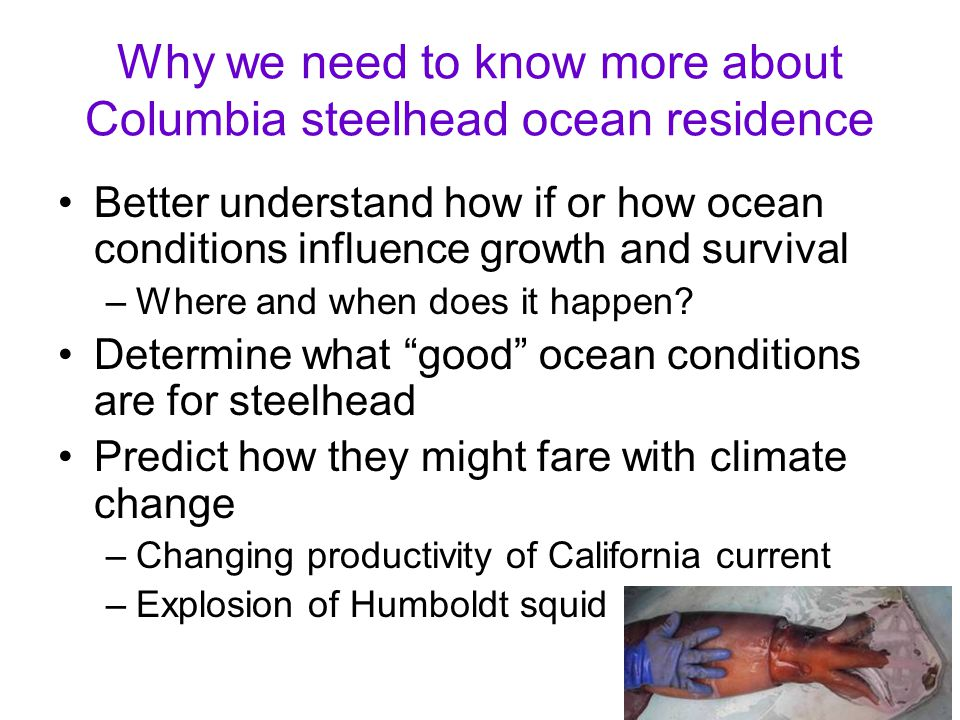 Why we need to know more about Columbia steelhead ocean residence Better understand how if or how ocean conditions influence growth and survival –Wher