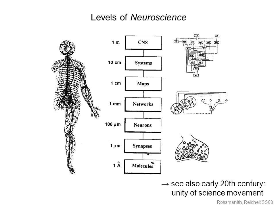 Rossmanith, Reichelt SS08 Levels of Neuroscience → see also early 20th century: unity of science movement