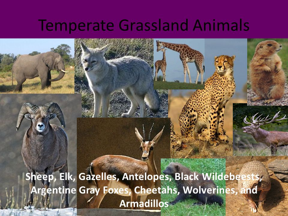 Temperate Grassland Animals Sheep, Elk, Gazelles, Antelopes, Black Wildebeests, Argentine Gray Foxes, Cheetahs, Wolverines, and Armadillos