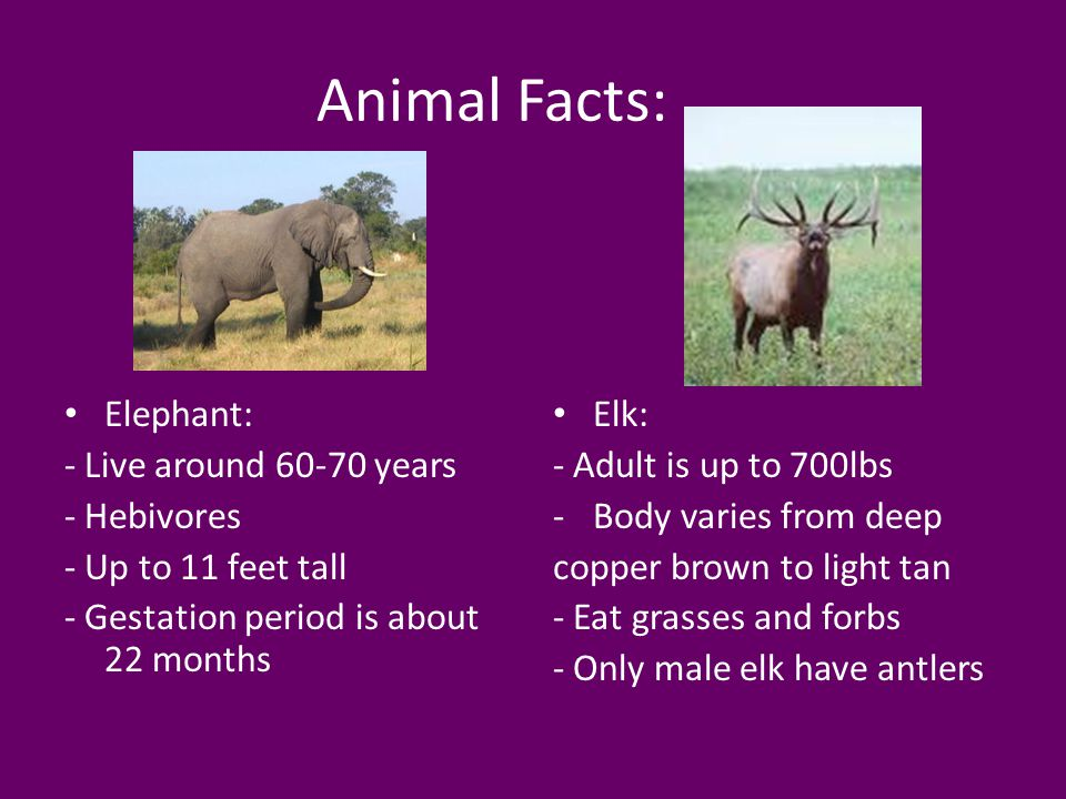 Animal Facts: Elephant: - Live around 60-70 years - Hebivores - Up to 11 feet tall - Gestation period is about 22 months Elk: - Adult is up to 700lbs -Body varies from deep copper brown to light tan - Eat grasses and forbs - Only male elk have antlers