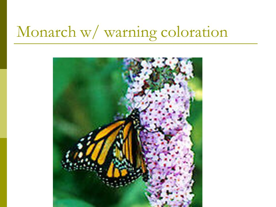 Monarch w/ warning coloration