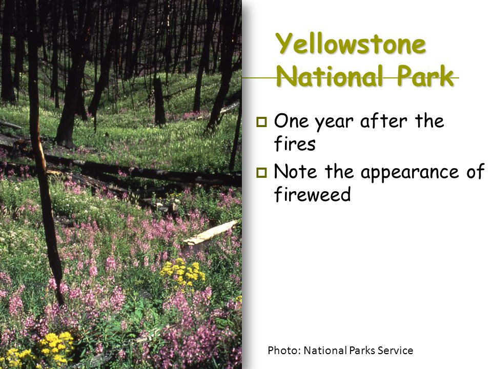 Yellowstone National Park  One year after the fires  Note the appearance of fireweed Photo: National Parks Service