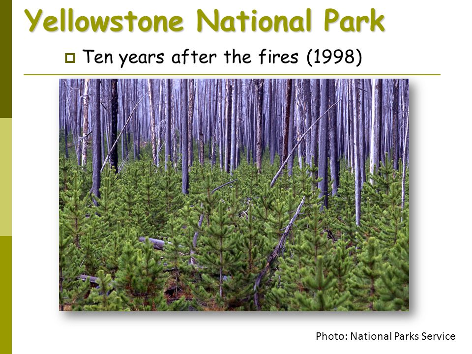 Yellowstone National Park  Ten years after the fires (1998) Photo: National Parks Service