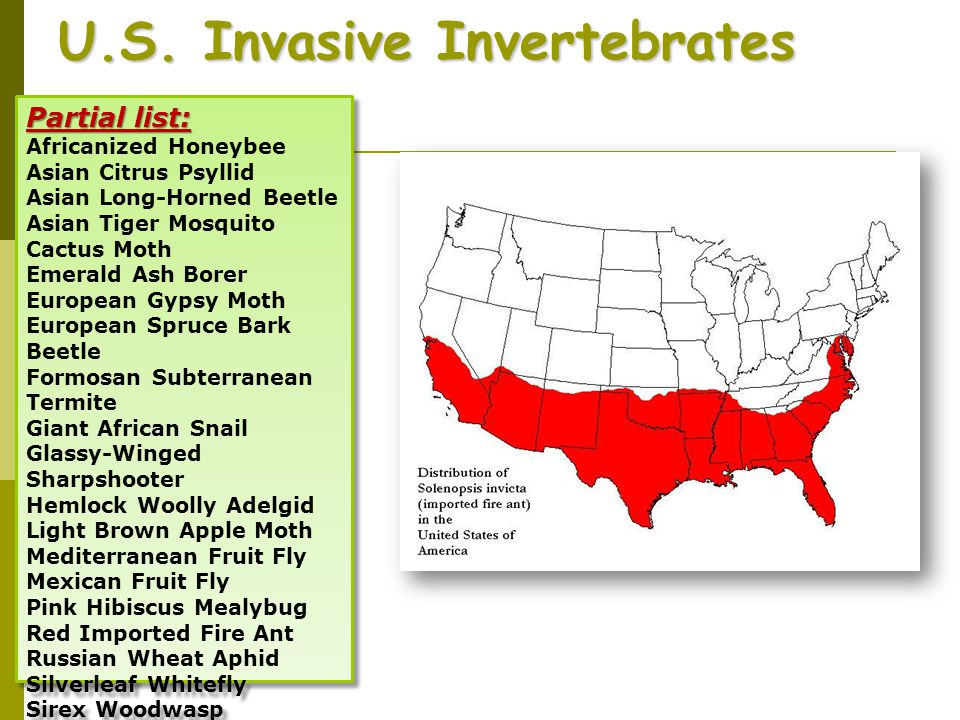 U.S. Invasive Invertebrates Partial list: Africanized Honeybee Asian Citrus Psyllid Asian Long-Horned Beetle Asian Tiger Mosquito Cactus Moth Emerald