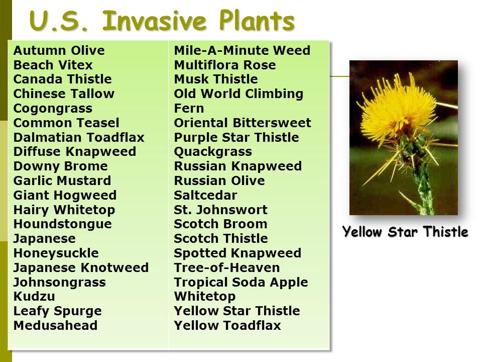 U.S. Invasive Plants Yellow Star Thistle