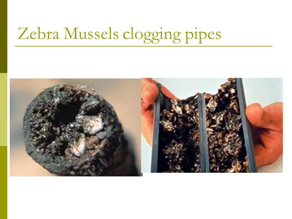 Zebra Mussels clogging pipes Zebra mussels clogging pipe