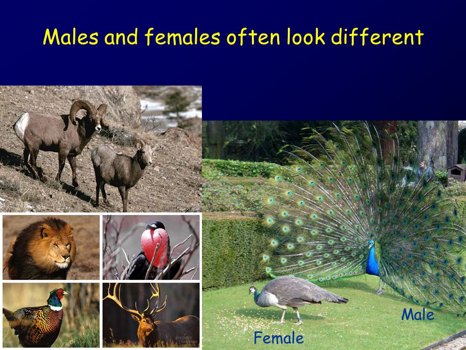 Sexual Dimorphism Males and females differ in appearance (secondary sexual characteristics) –Primary sexual characteristics: reproductive organs –Secondary sexual characteristics: other external features of an organism that differ between males and females