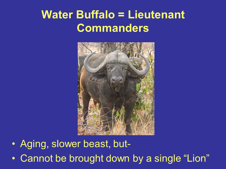 "Water Buffalo = Lieutenant Commanders Aging, slower beast, but- Cannot be brought down by a single ""Lion"""