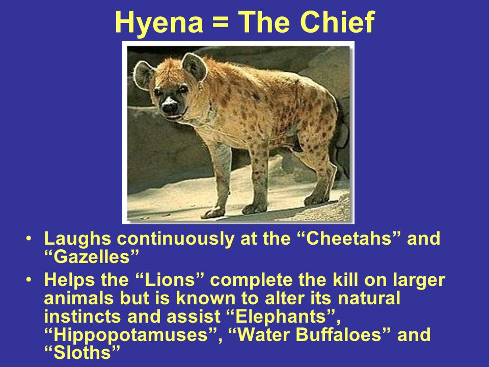 "Hyena = The Chief Laughs continuously at the ""Cheetahs"" and ""Gazelles"" Helps the ""Lions"" complete the kill on larger animals but is known to alter its"