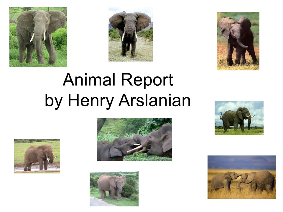 Animal Report by Henry Arslanian