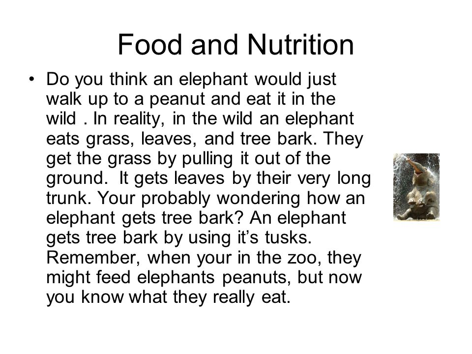 Food and Nutrition Do you think an elephant would just walk up to a peanut and eat it in the wild. In reality, in the wild an elephant eats grass, lea