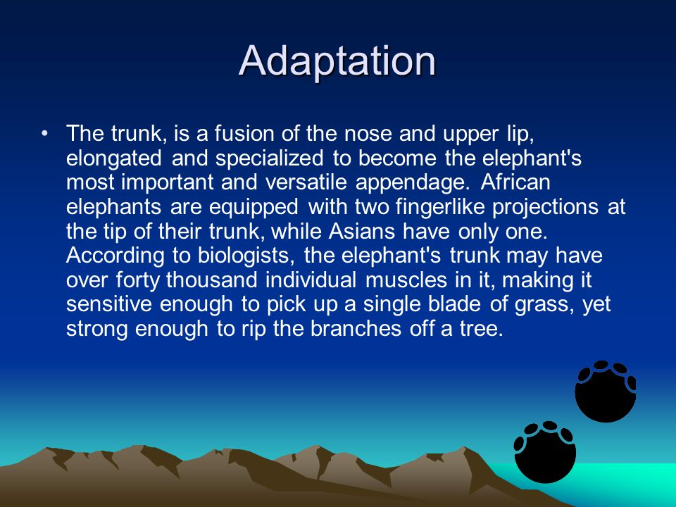Adaptation The trunk, is a fusion of the nose and upper lip, elongated and specialized to become the elephant s most important and versatile appendage.