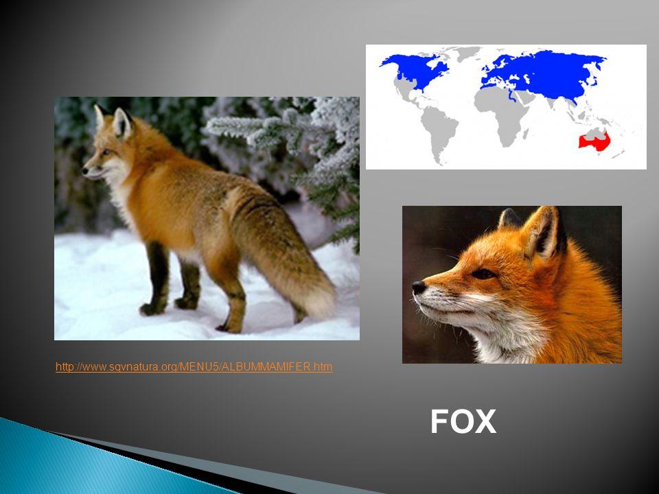 FOX http://www.sqvnatura.org/MENU5/ALBUMMAMIFER.htm