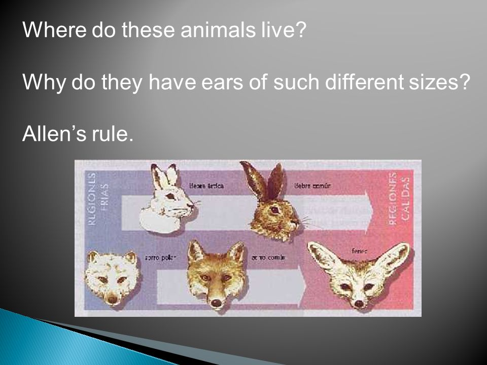Where do these animals live? Why do they have ears of such different sizes? Allen's rule.