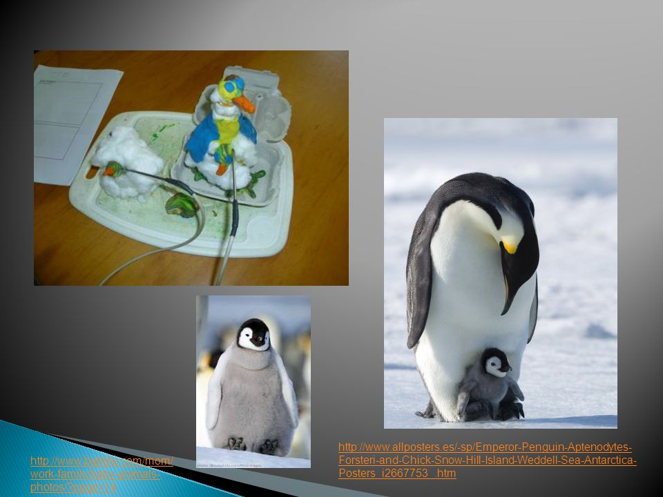 http://www.allposters.es/-sp/Emperor-Penguin-Aptenodytes- Forsteri-and-Chick-Snow-Hill-Island-Weddell-Sea-Antarctica- Posters_i2667753_.htm http://www.babble.com/mom/ work-family/baby-animals- photos/ page=14