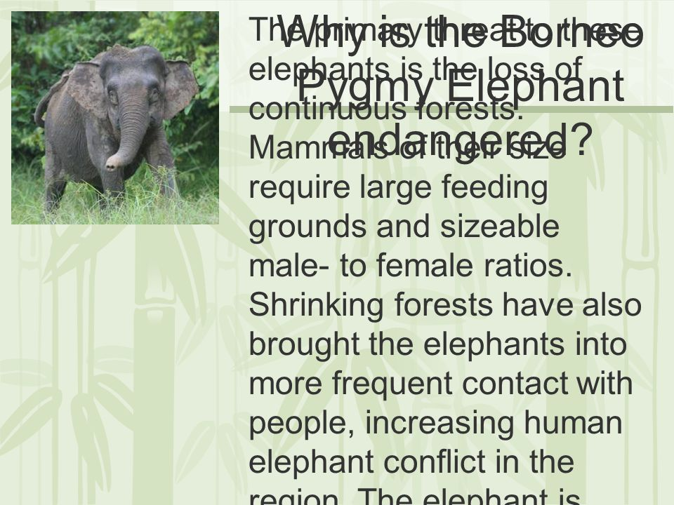 How can we help to conserve the population of Borneo Pygmy Elephants.