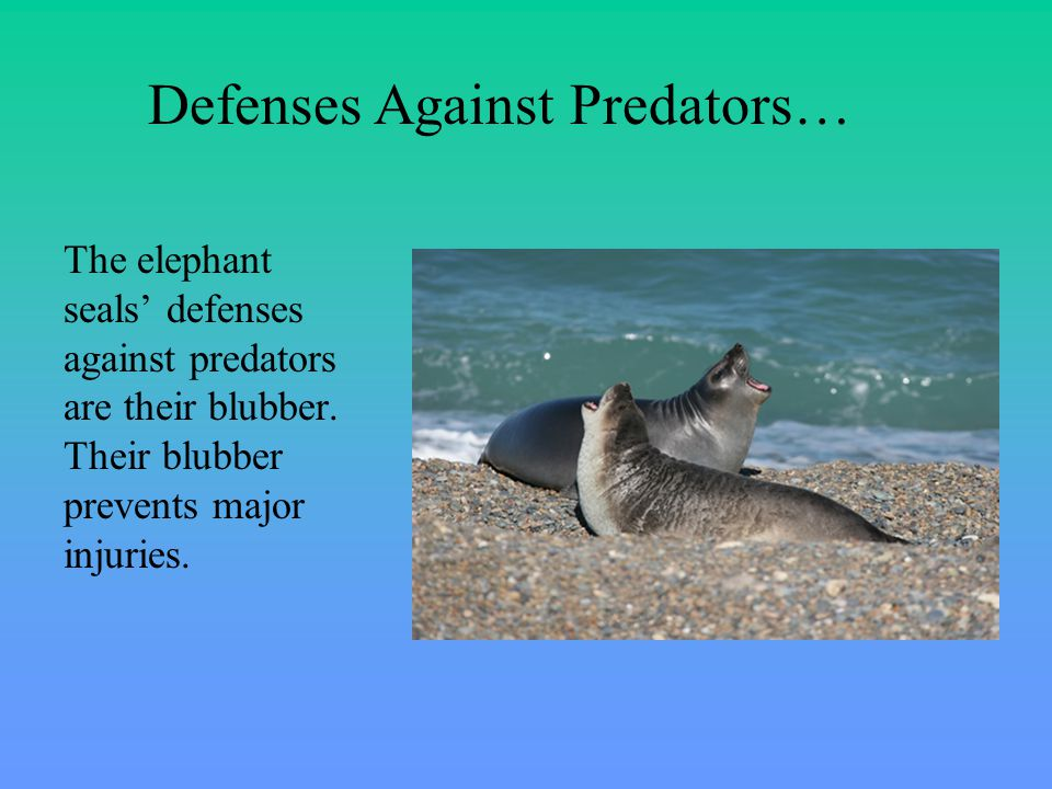 The elephant seals' defenses against predators are their blubber.