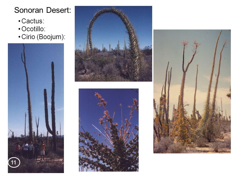 Cactus: Sonoran Desert: Ocotillo: Cirio (Boojum): 11