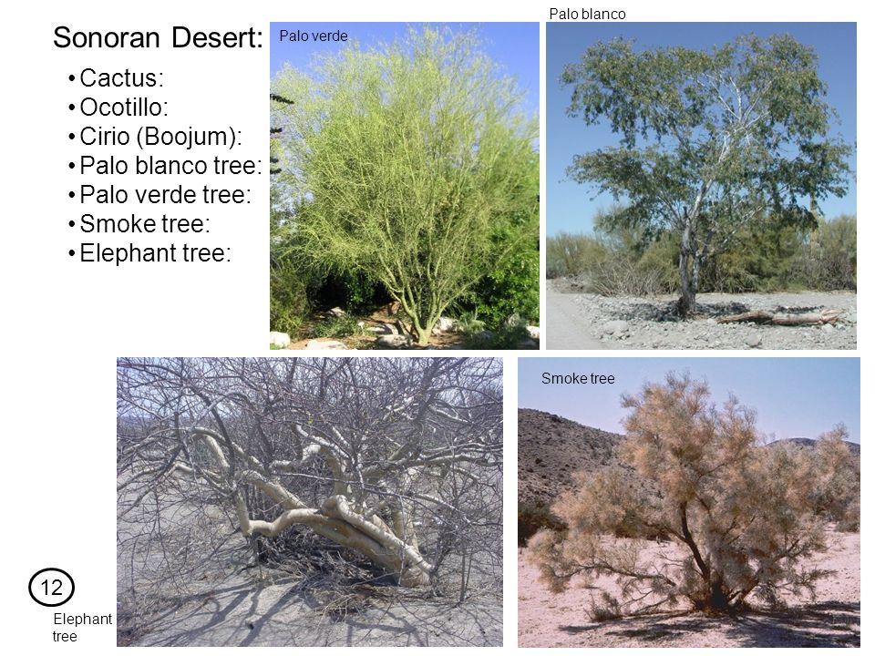 Cactus: Sonoran Desert: Ocotillo: Cirio (Boojum): Palo blanco tree: Palo verde tree: Smoke tree: Elephant tree: Palo blanco Smoke tree Palo verde Elephant tree 12