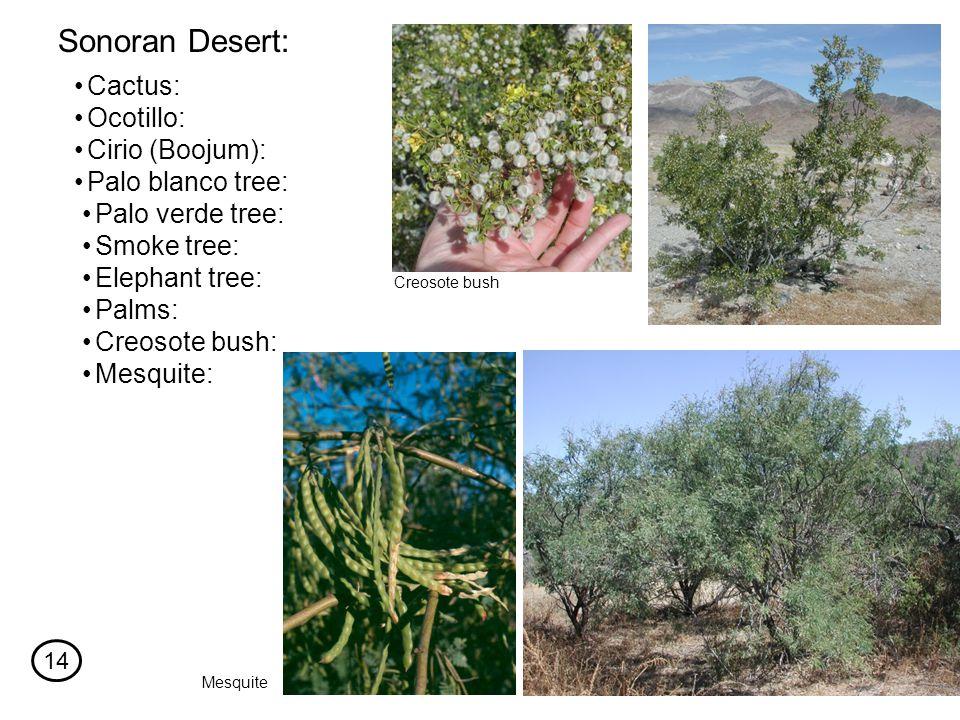 Cactus: Sonoran Desert: Ocotillo: Cirio (Boojum): Palo blanco tree: Palo verde tree: Smoke tree: Elephant tree: Palms: Creosote bush: Mesquite: Creosote bush Mesquite 14