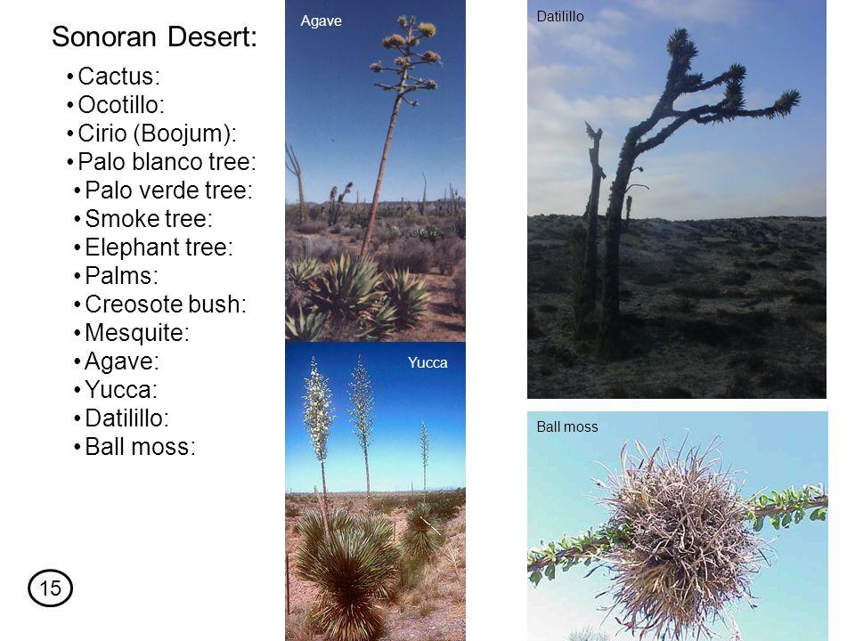 Cactus: Sonoran Desert: Ocotillo: Cirio (Boojum): Palo blanco tree: Palo verde tree: Smoke tree: Elephant tree: Palms: Creosote bush: Mesquite: Agave: Yucca: Datilillo: Ball moss: Agave Yucca Datilillo Ball moss 15
