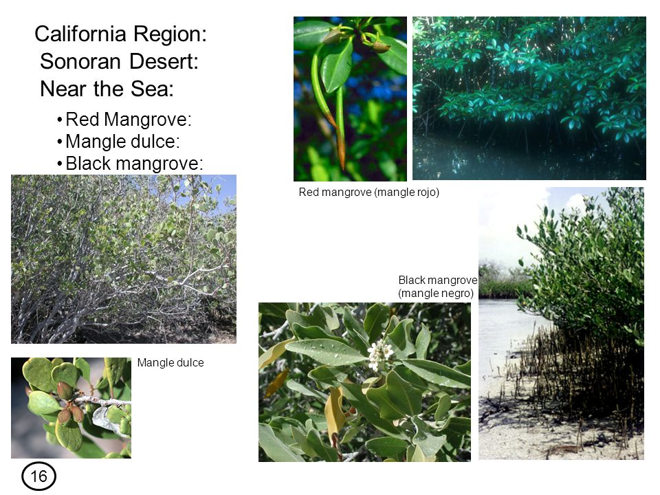 Red Mangrove: California Region: Sonoran Desert: Near the Sea: Mangle dulce: Black mangrove: Red mangrove (mangle rojo) Mangle dulce Black mangrove (mangle negro) 16