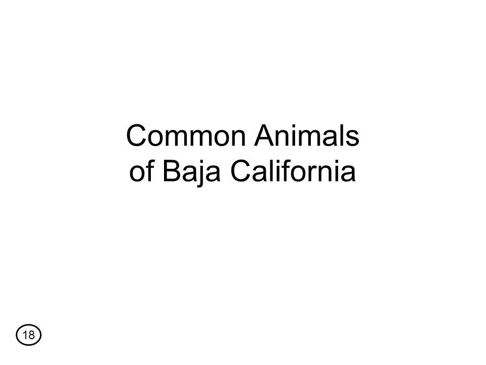 Common Animals of Baja California 18