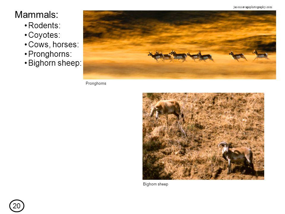 Rodents: Mammals: Coyotes: Cows, horses: Bighorn sheep Pronghorns 20 Pronghorns: jasonsavagephotography.com Bighorn sheep: