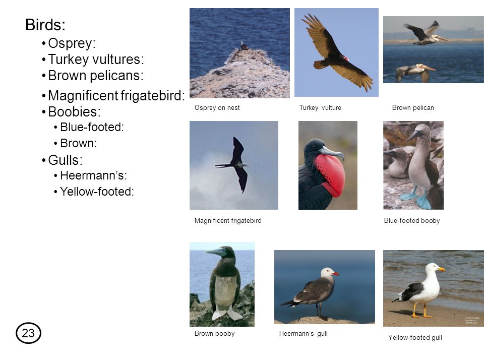 Osprey: Birds: Turkey vultures: Heermann's: Yellow-footed: Osprey on nest Brown pelicans: Magnificent frigatebird: Gulls: Boobies: Blue-footed: Brown: Turkey vulture Magnificent frigatebird Brown pelican Heermann's gull Yellow-footed gull Blue-footed booby Brown booby 23