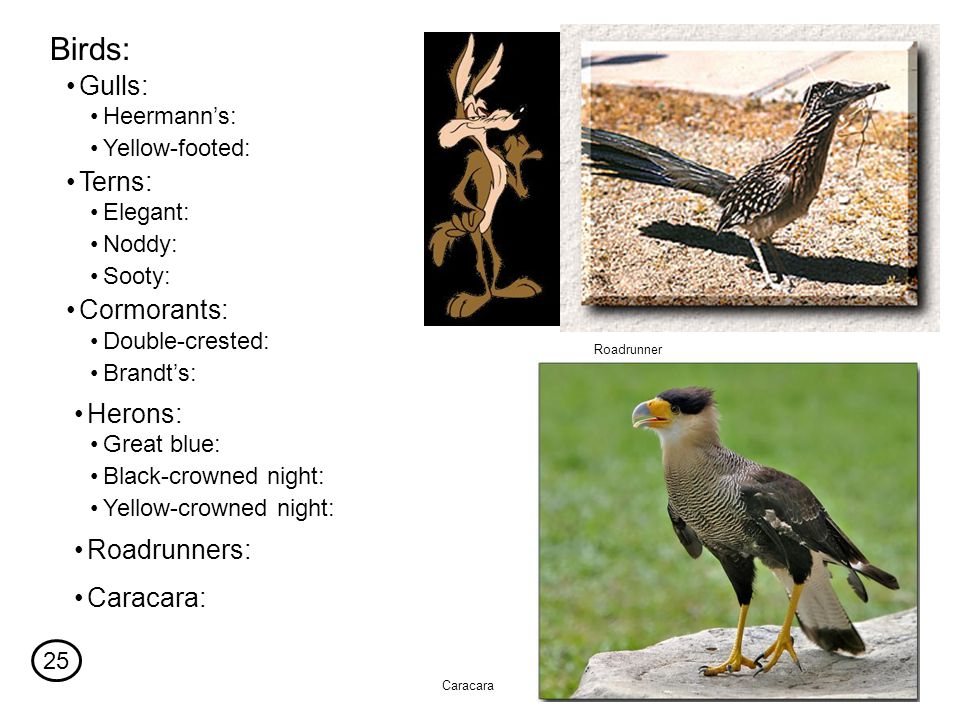 Birds: Heermann's: Yellow-footed: Gulls: Terns: Elegant: Noddy: Sooty: Cormorants: Double-crested: Brandt's: Herons: Great blue: Black-crowned night: Yellow-crowned night: Roadrunner Roadrunners: Caracara: Caracara 25