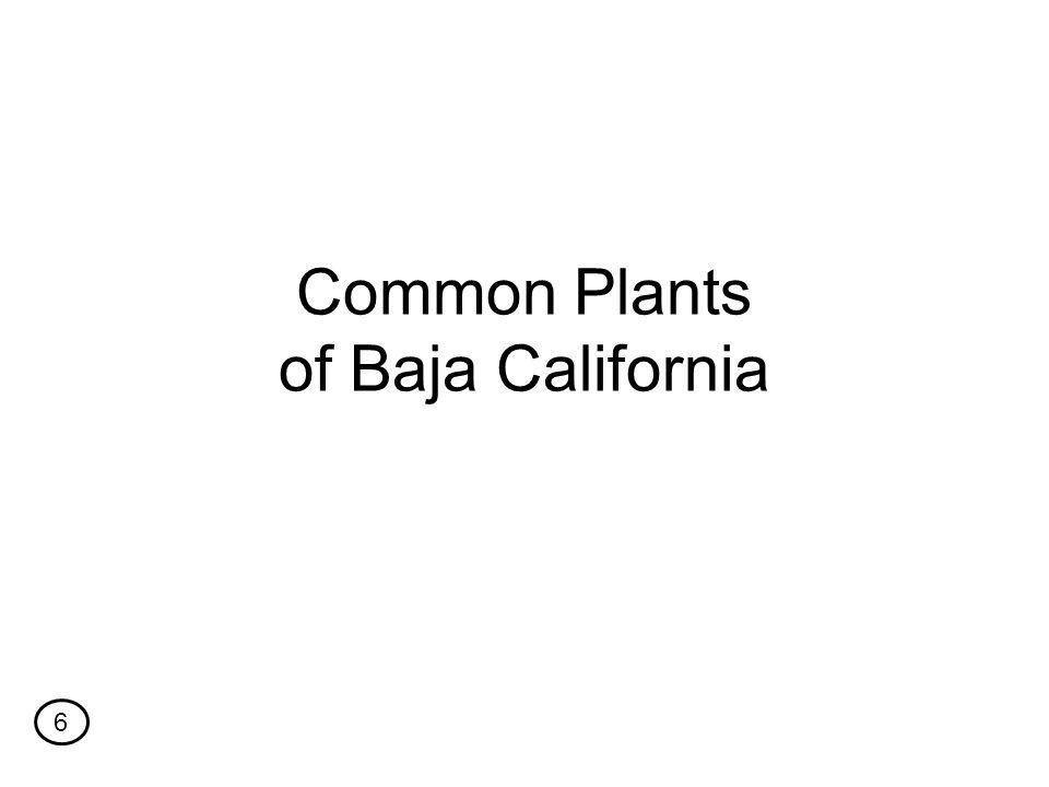 Common Plants of Baja California 6