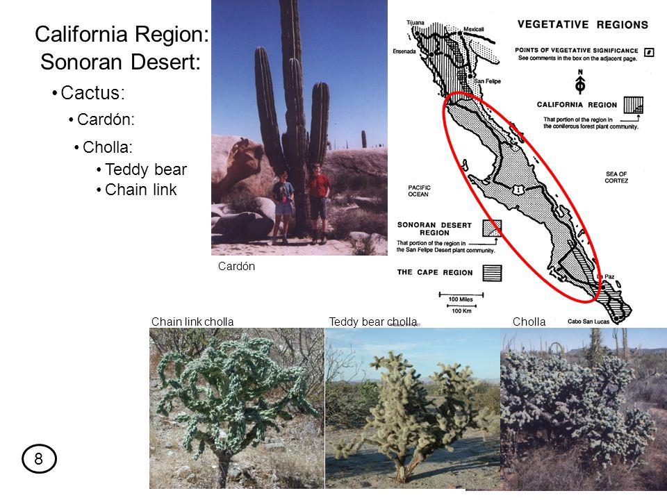 Cactus: California Region: Sonoran Desert: Cardón: Cholla: Teddy bear Chain link ChollaTeddy bear chollaChain link cholla Cardón 8