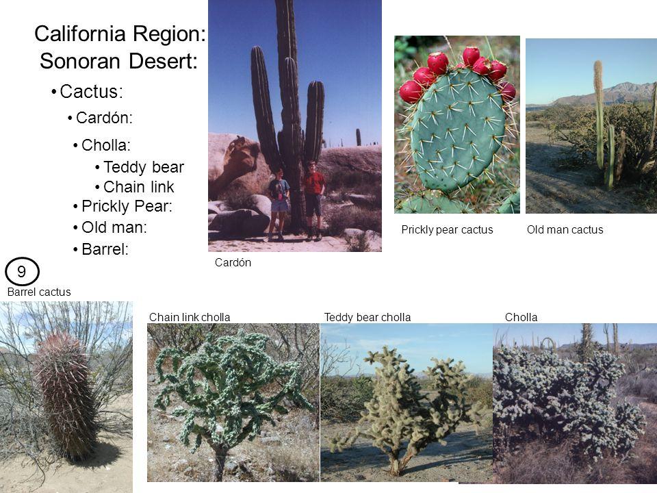 Cactus: California Region: Sonoran Desert: Cardón: Cholla: Prickly Pear: Barrel: Teddy bear Chain link ChollaTeddy bear cholla Prickly pear cactusOld man cactus Old man: Chain link cholla Cardón Barrel cactus 9