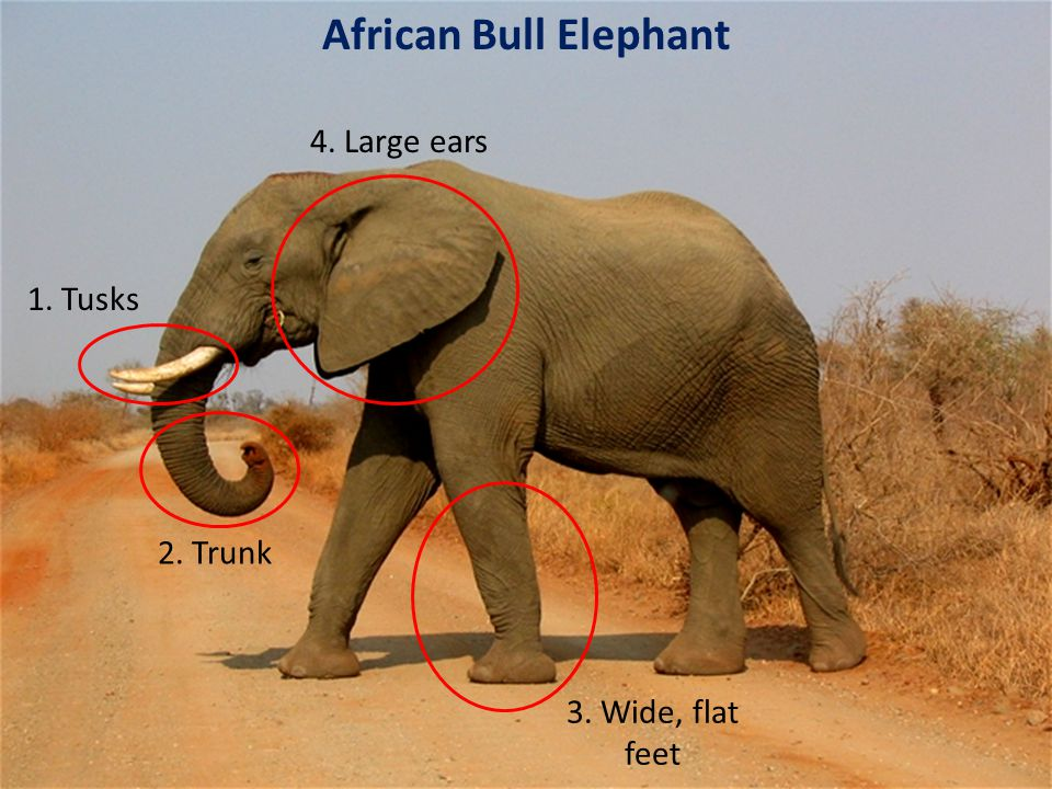 1. Tusks 2. Trunk 4. Large ears 3. Wide, flat feet African Bull Elephant