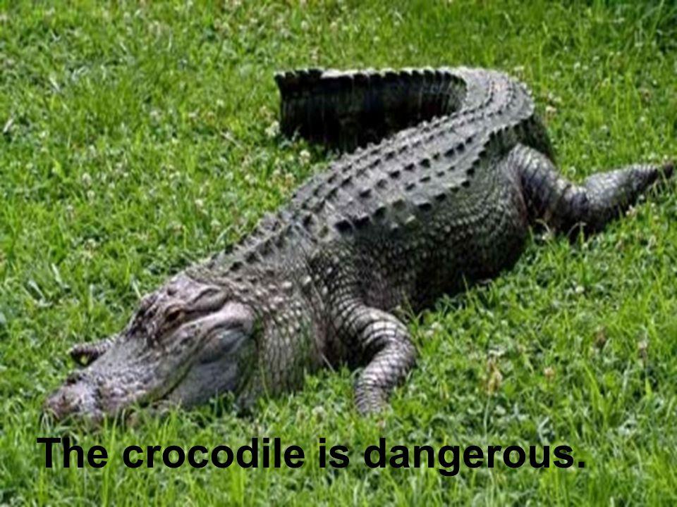 The crocodile is dangerous.