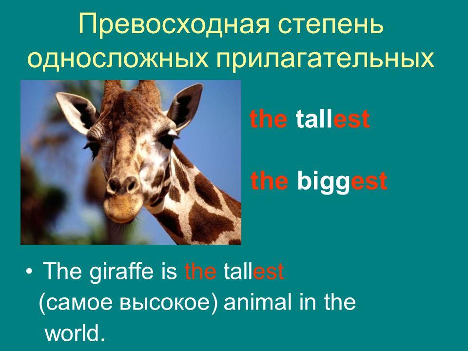 Превосходная степень односложных прилагательных the tallest the biggest The giraffe is the tallest (самое высокое) animal in the world.