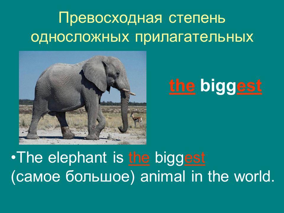 Превосходная степень односложных прилагательных the biggest The elephant is the biggest (самое большое) animal in the world.