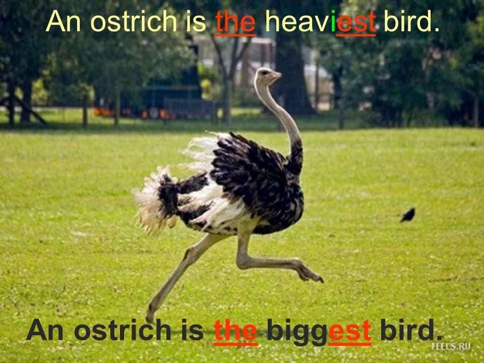 An ostrich is the heaviest bird. An ostrich is the biggest bird.
