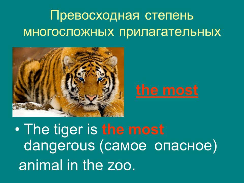 Превосходная степень многосложных прилагательных the most The tiger is the most dangerous (самое опасное) animal in the zoo.