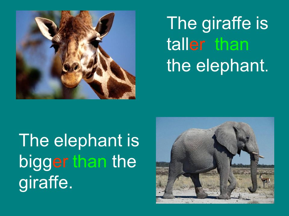 The giraffe is taller than the elephant.