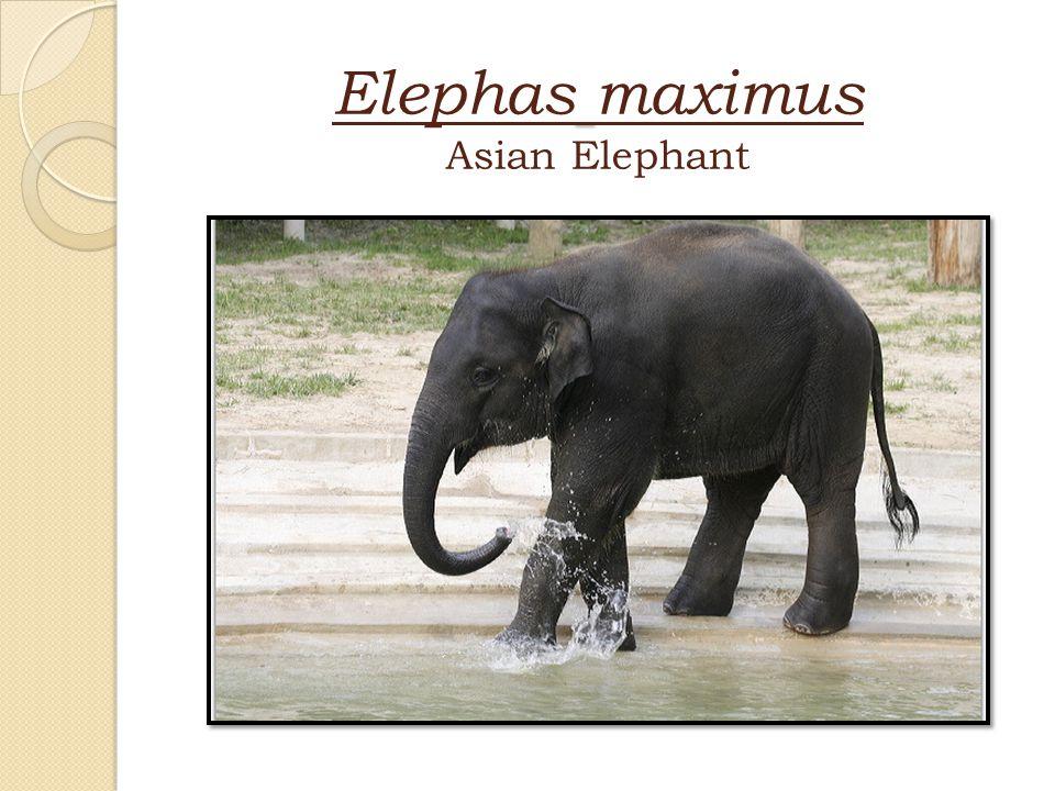 Elephas maximus Asian Elephant