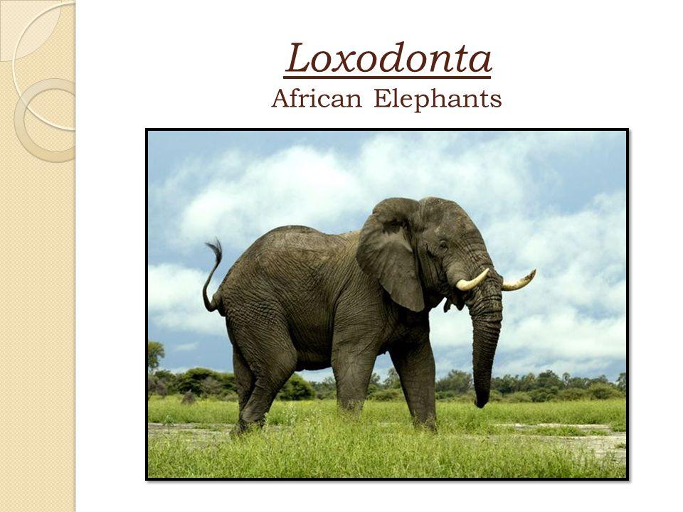 Loxodonta African Elephants