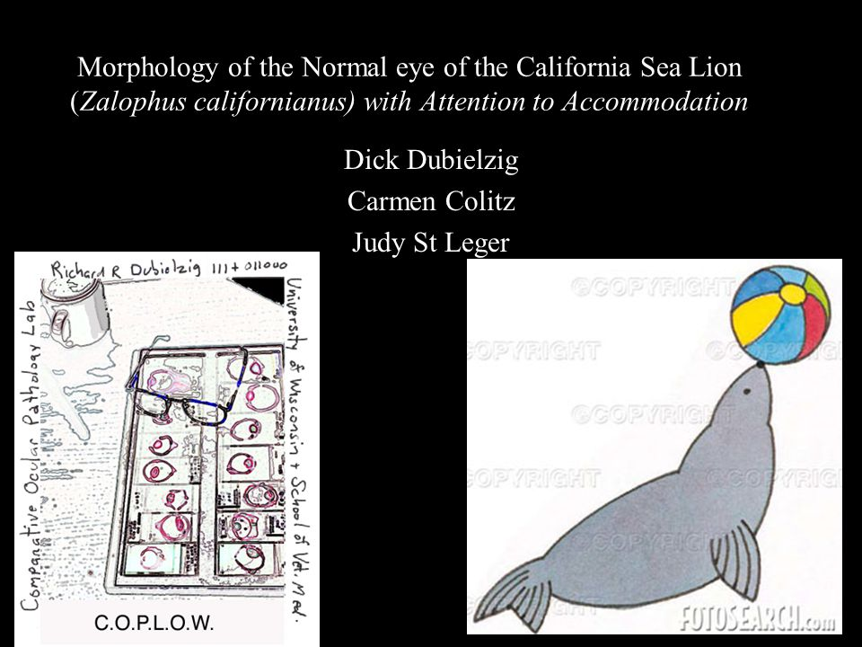 Morphology of the Normal eye of the California Sea Lion (Zalophus californianus) with Attention to Accommodation Dick Dubielzig Carmen Colitz Judy St