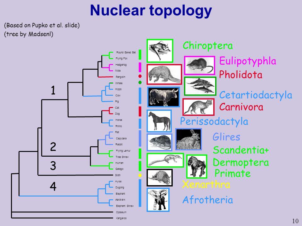 10 Nuclear topology Cetartiodactyla Afrotheria Chiroptera Eulipotyphla Glires Xenarthra Carnivora Perissodactyla Scandentia+ Dermoptera Pholidota Primate (tree by Madsenl) (Based on Pupko et al.