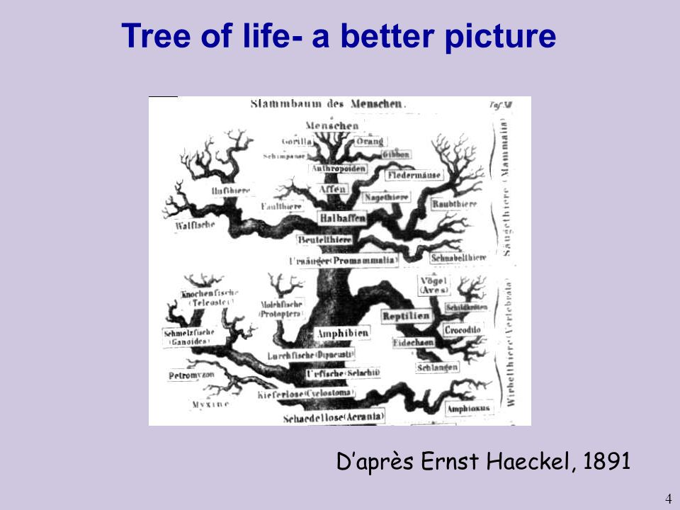 4 D'après Ernst Haeckel, 1891 Tree of life- a better picture